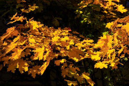 Bright yellow maple leaves on dark background soft focus photography. Natural fall pattern backdrop. Park in sunny autumn day.