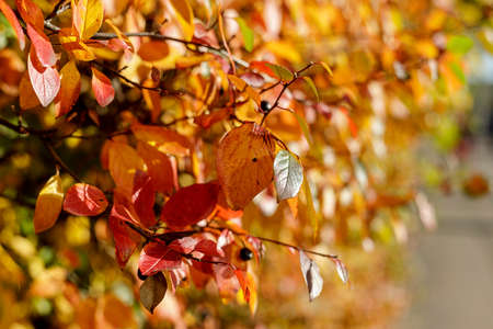 Colorful leaves on bush highlighted by sunlight selective focus photography. Vibrant fall pattern background with bokeh. Garden in sunny autumn day.