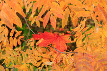 Colorful maple leaf, surrounded by leaves of rowan soft focus photography. Natural fall pattern backdrop. Garden in sunny autumn day. Cozy autumn mood. Banco de Imagens