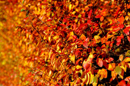 Bush with colorful leaves highlighted by warm sunlight. Autumnal garden on a sunny day. Autumn vibes scene. Bright fall background with bokeh. Soft focus photography.