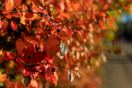 Bush with colorful leaves highlighted by warm sunlight. Cozy autumn scene. Bright fall background with bokeh. Autumnal garden on a sunny day soft focus photography.