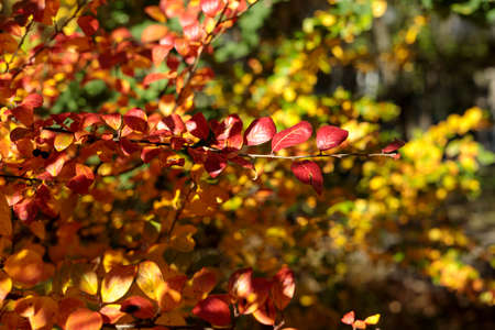 Branch with red leaves. Colorful autumn bush. Autumnal garden on a sunny day. Selective focus photography. Bright fall background.