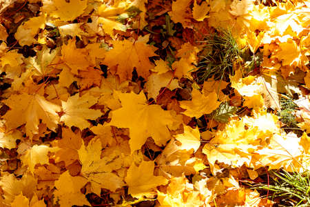 Fallen leaves on the ground in autumnal park. Close-up of yellow maple leaf on a sunny day. Autumn mood scene. Selective focus photography. Seasonal fall background.