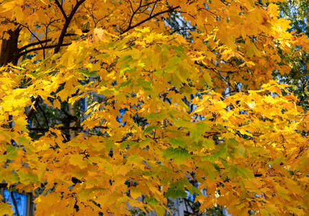 Yellow and green maple leaves on branch soft focus photography. Bright fall pattern background. Park in sunny autumn day Banco de Imagens