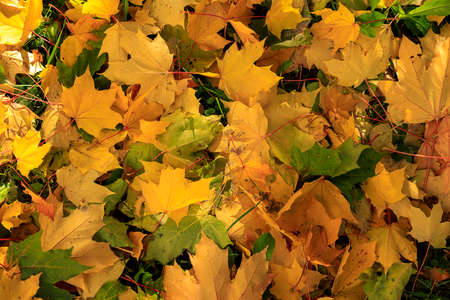 Colorful autumn maple leaves on the ground soft focus photography. Natural fall pattern background. Garden in sunny autumn day.