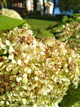 photo of white hydrangea flowers with autumn brown petals. garden decorative flower