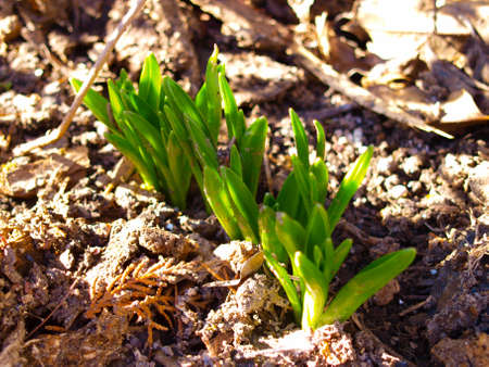 Lily of the valley sprout in January. National flower of Finland. Its Latin name is Convallaria Majalis.