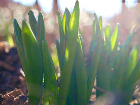 Lily of the valley sprouts in January sunshine. National flower of Finland. Its Latin name is Convallaria Majalis.