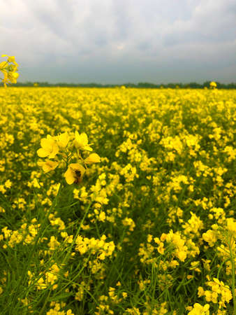 Yellow mustard flowers in the garden. Mustard cultivation in Bangladesh