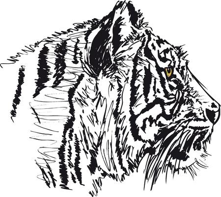 tigresa: Boceto de tigre blanco. ilustración