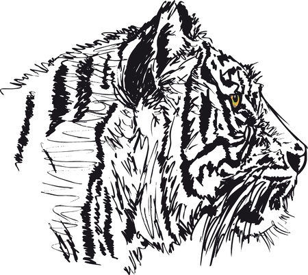 Sketch of white tiger. illustration Vector