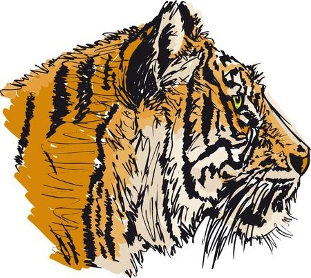 sumatran tiger: Sketch of white tiger. illustration