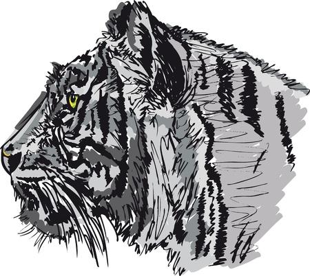 tiger white: Schizzo di tigre bianca. Vector illustration