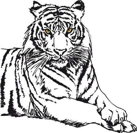 tiger white: Sketch di bianco illustrazione vettoriale tigre