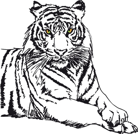 wildcats: Sketch of white tiger  Vector illustration