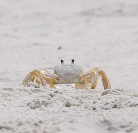fiddler: Fiddler crab posing for the camera