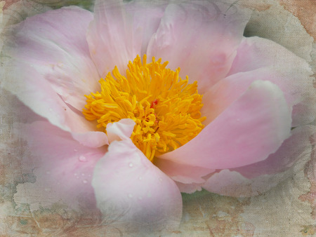 tenderly: A macro of magnolia blossom is tenderly wrapped in a texture like a tapestry