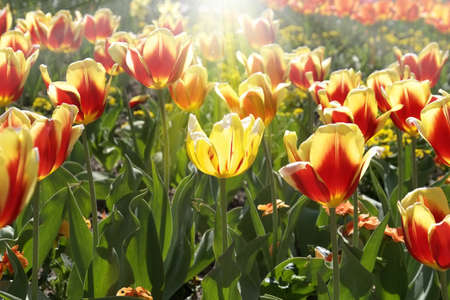 sort out: Unique colored tulip under a sun beam, standing out from the others