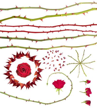 �pines: Collection d'�pines de roses singuli�res, rosiers-tiges et des bourgeons, isol� sur blanc