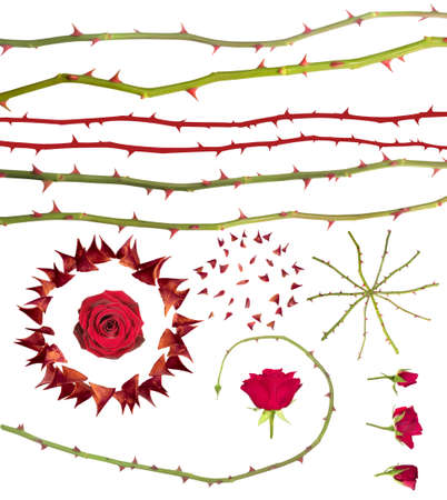 Collection of singular rose thorns, rose stems and buds, isolated on white                                photo