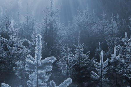 New winter fir trees in a blue tone, where the frozen edge is shining through sun rays                     Stock Photo