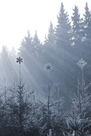 Sparkling Ice stars on the peaks of frozen firs with sun rays from behind