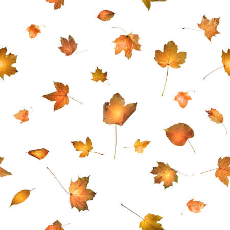 seamless autumn leaves, studio photographed, with a glowing back light, enhancing the colors naturally, isolated on white Stock Photo - 20919568