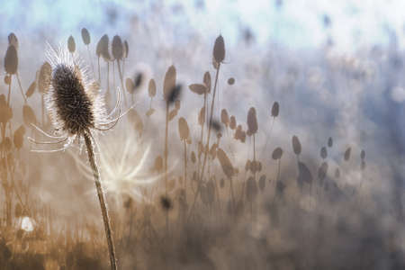 multi layered effect: autumn thistle in a white contour of dawn light, with a multi layered effect, through different focus length photos, with a white shadow and gradual color changes from sepia to frosty blue