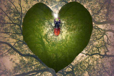 transparent leaf heart that gradually fades in the jungle trees background and a exotic insect that is forming a heart with his horns         Stock Photo