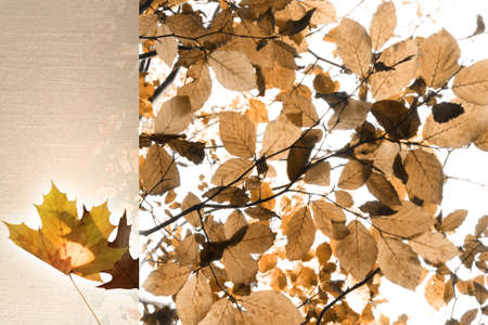 autumn leaves template in sepia tone   Stock Photo