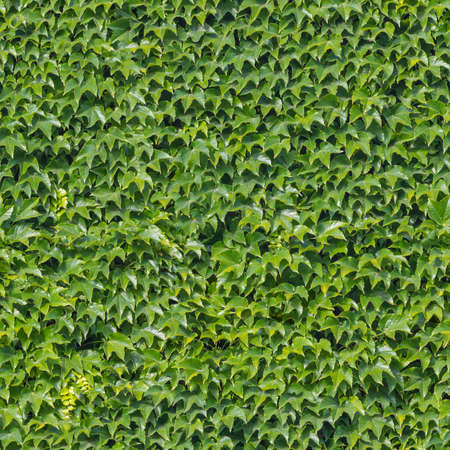 repeatable: repeatable green, photographed wall background, overgrown with ivy foliage