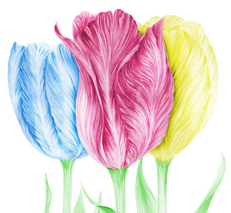 pencil drawn tulips in the three primary colors isolated on white