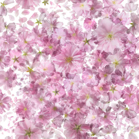 scattered: Repeating pattern of sakura blossoms, studio photographed with backlit, making the petals shine through, isolated on absolute white