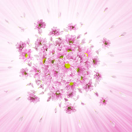 pink daisy flower buds explosion, with shining rays, similar to the petals Banco de Imagens