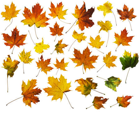 differently: autumn maple leaves set, each differently colored, isolated on white, comes with clipping paths