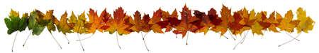 hilera: Arce hojas de otoño cambio de color, estudio de fotografía, con transparencia y aislado en blanco absoluto