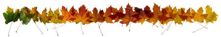 Maple autumn leaves change color, studio photographed, with transparency and isolated on absolute white