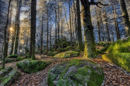 Winter sun at the prehistoric, natural monument, the Guenterfelsen in the Black Forest, Southwest Germany, where green, giant rocks are forming a contrast to the frosty trees