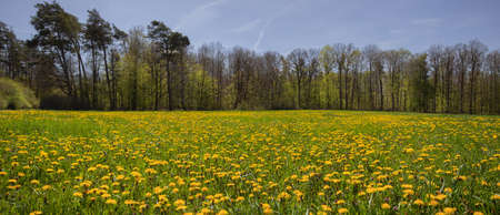 Dandelion field panorama at a forest in the Franconian Heights