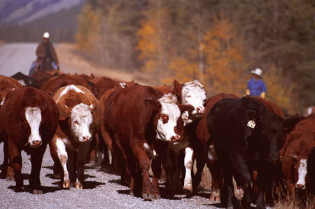 carson ganci: cattle roundup ,Longview. Alberta Stock Photo