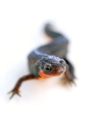 underbelly: S-Curved firebelly newt with red underbelly