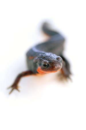 underbelly: S-newt firebelly curva con ventre rosso