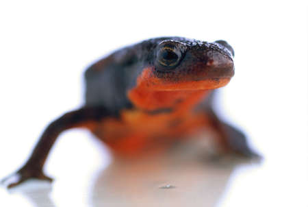 Firebelly newt with red underbelly