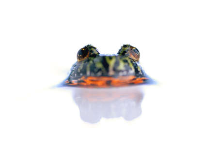 corey hochachka: Firebelly toad in water Stock Photo