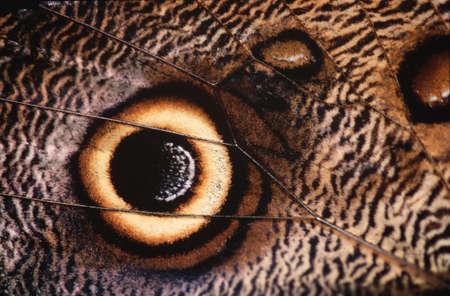 eyespot: Eyespot on Owl butterfly wing