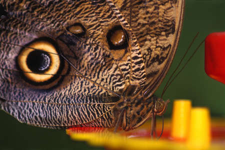 Closeup of Owl butterfly