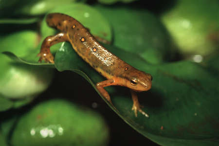 newts: Eastern Spotted newt on water hyacynth leaf