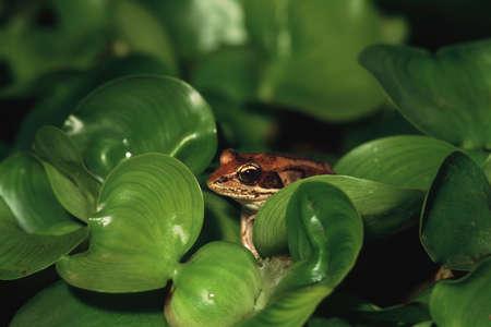 corey hochachka: Frog hiding in leafs Stock Photo