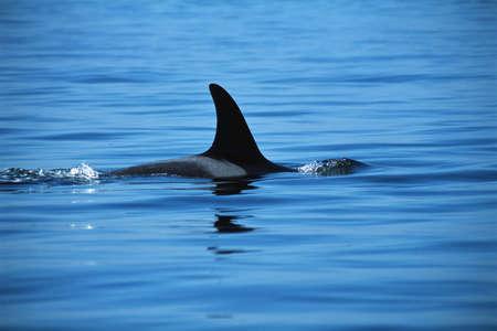 dorsal: Dorsal fin of killer whale