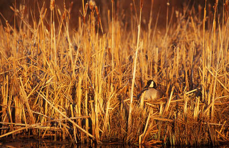 rushes: Duck hiding in rushes in the morning